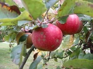Äpfel für das Apfelbrot